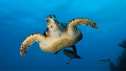 marine turtle ,sea turtle , ghana , beach ,tourism