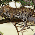 leopard-picture-2